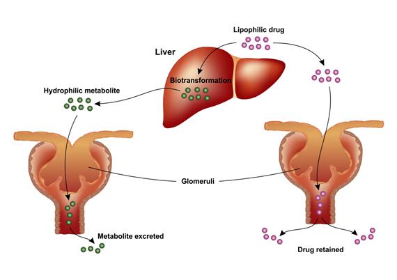 Drug Biotransformation Photo