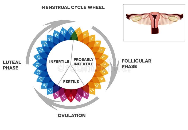 Menstrual Cycle and Menopause Photo