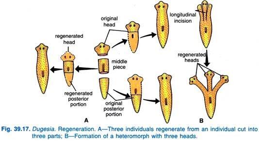 Regeneration in Zoology Photo