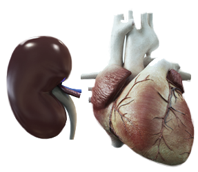 Kidney and the Heart Photo