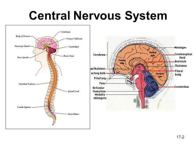 central nervous system The central nervous system this page outlines the basic physiology of the central nervous system, including the brain and spinal cord separate pages describe the nervous system in general, sensation, control of skeletal muscle and control of internal organs the central nervous system cns is responsible for integrating sensory information and responding accordingly.