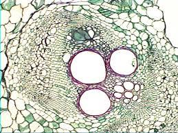 Plant Anatomy and Morphology Photo