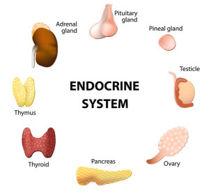 The Endocrine System and Diabetes  Photo
