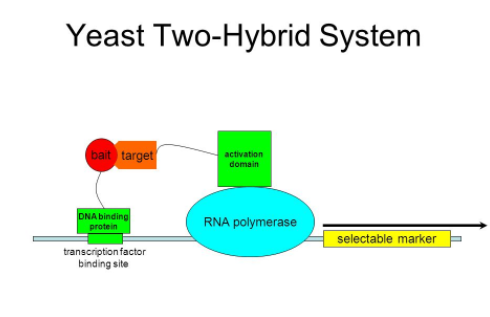 Interaction Proteomics through Yeast two-hybrid system Photo