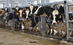 Dairy hygiene and its maintenance Photo