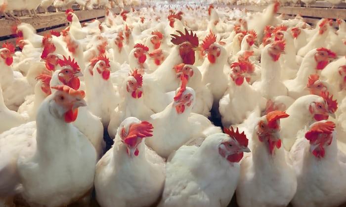 Poultry Hygiene Photo