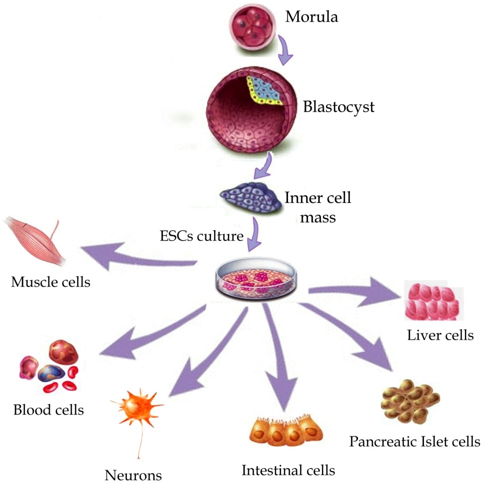 Stem cells products and Commercialization  Photo